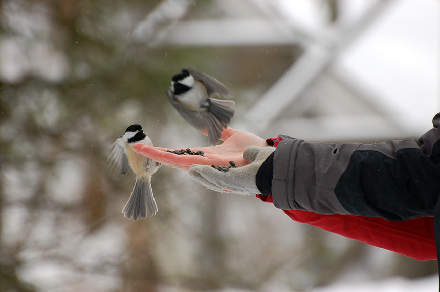 Feeding chickadees - Conservation Sudbury - Lake Laurentian
