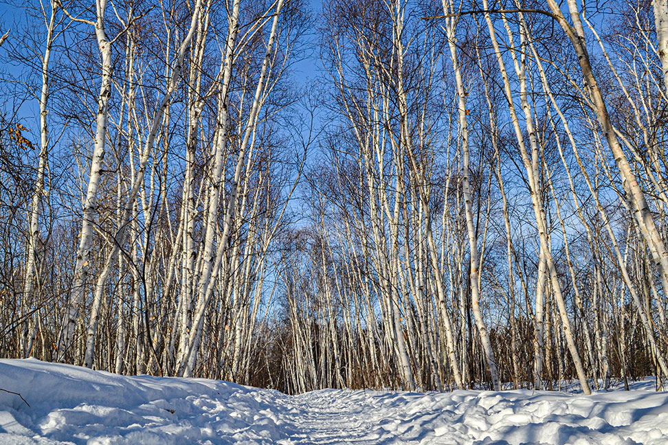 Birch tree trail - Conservation Sudbury - Lake Laurentian